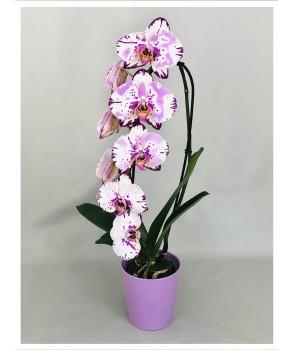 Phalaenopsis Rose bicolore cascade