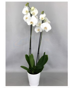 Phalaenopsis blanc 2 tiges