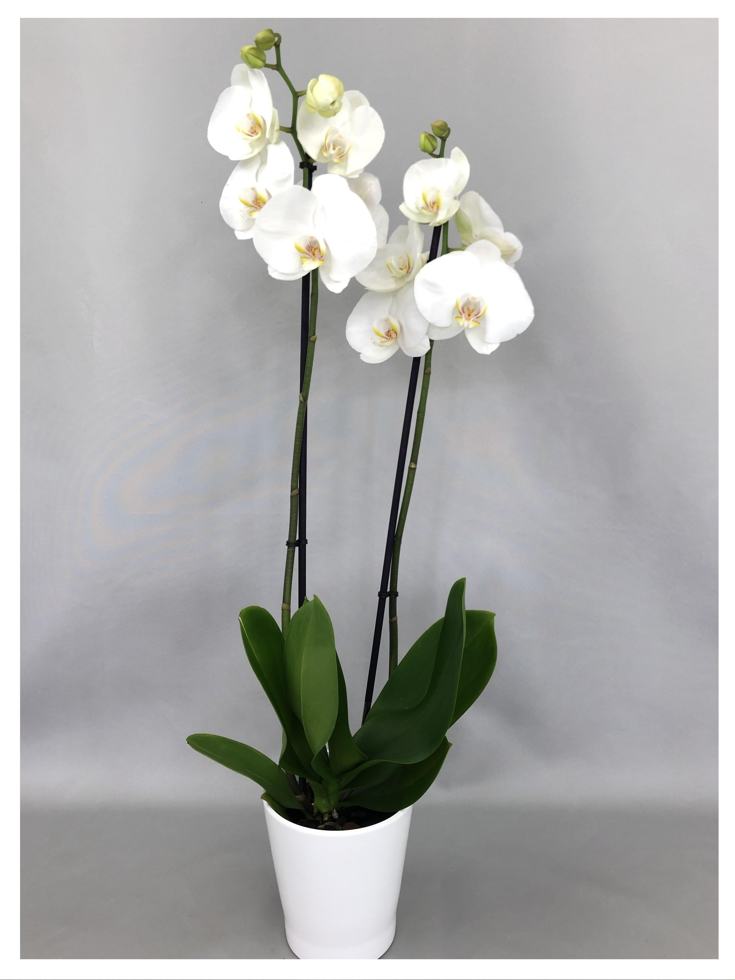 Phalaenopsis blanc 2 tiges