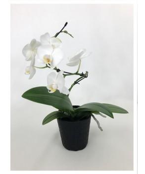 Phalaenopsis blanc Twister