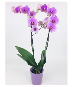 Phalaenopsis rose 2 tiges