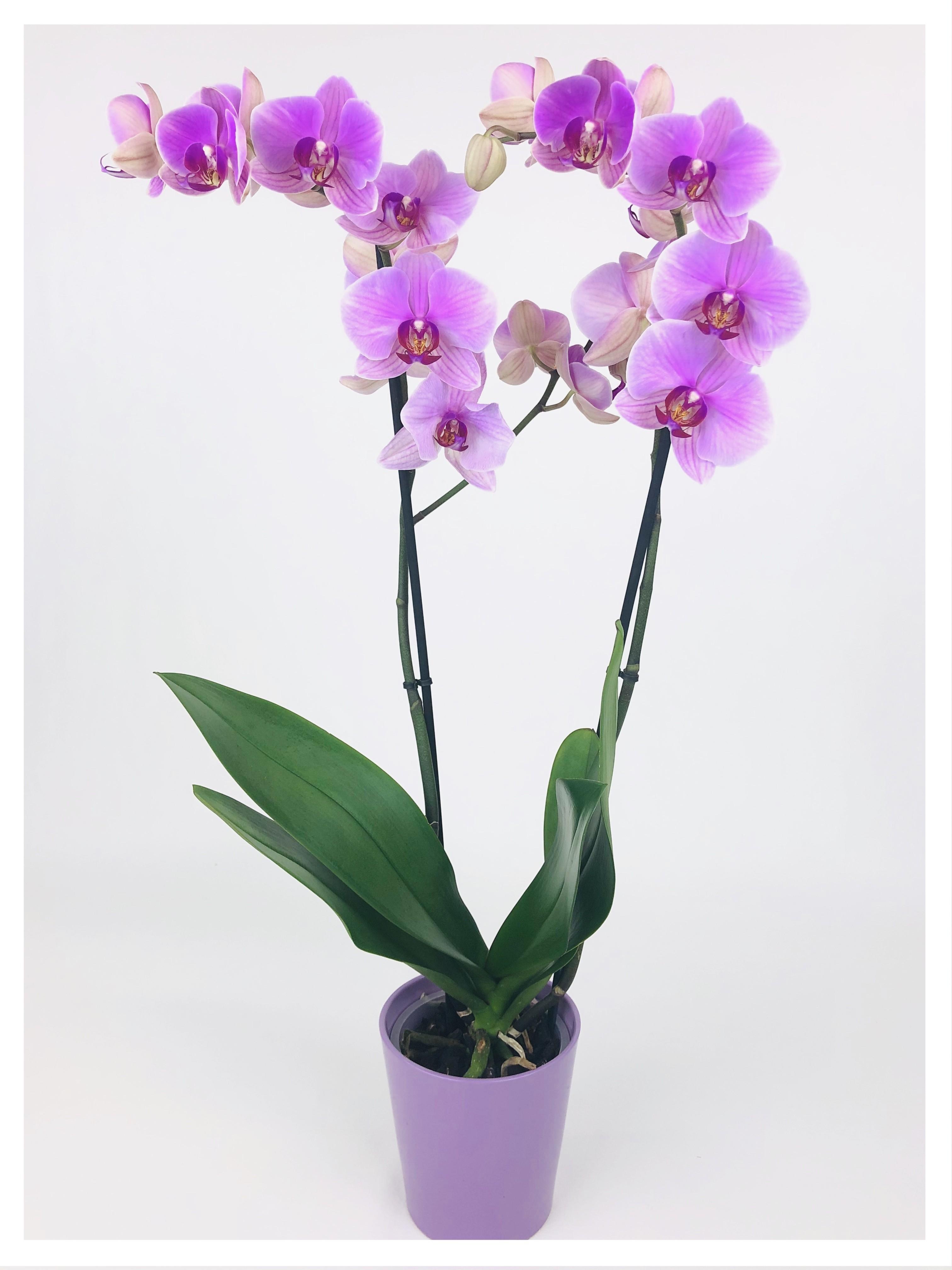 Phalaenopsis rose 2 tiges