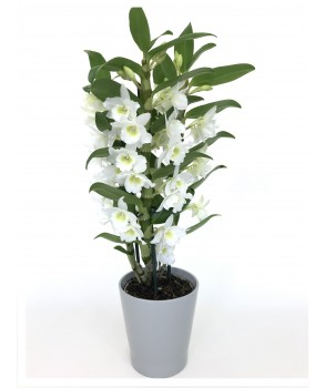 Dendrobium blanc 2 tiges