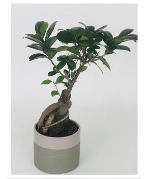 Bonsaï Ficus Gingseng