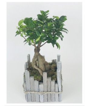 Bonsaï Ficus Gingseng en pot bois