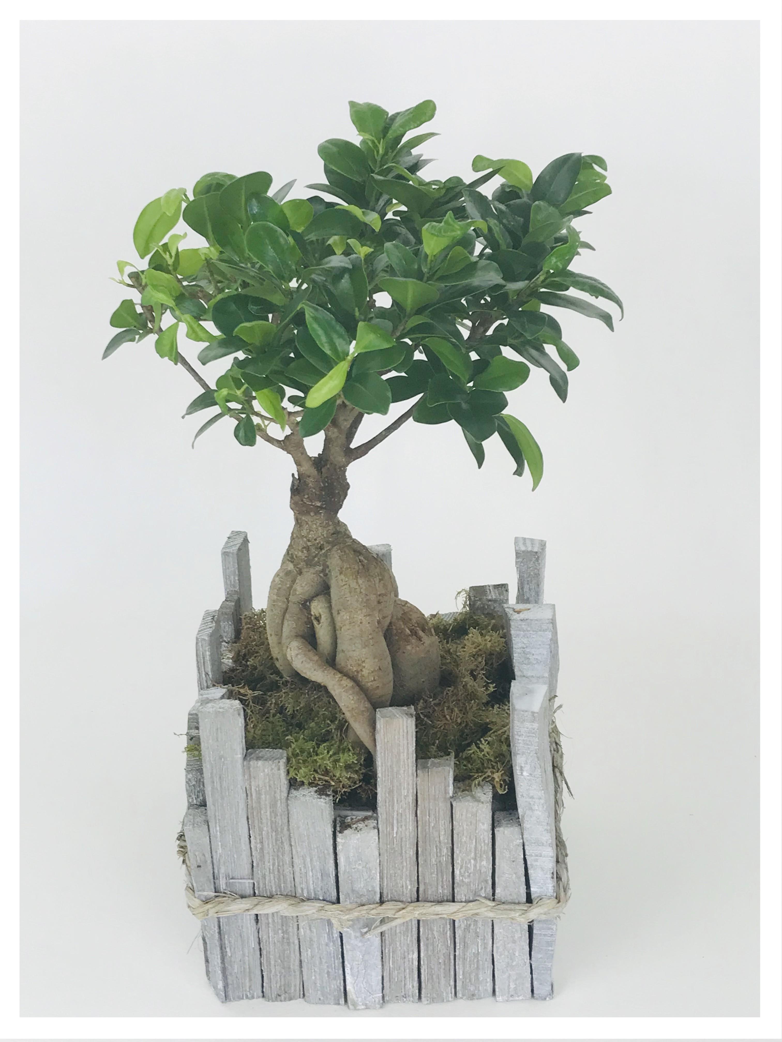 Bonsaï Ficus Gingseng en pot bois