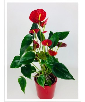 Anthurium Rouge Sierra